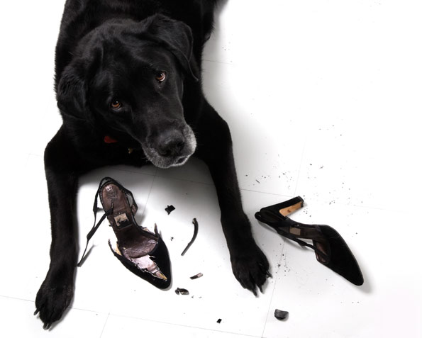 black lab chewing high heel shoes