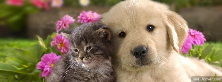 golden retriever puppy and kitten
